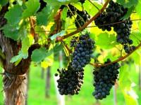 Wein Königstetten